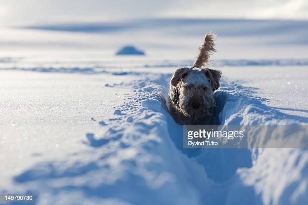 irish soft-coated wheaten terrier in deep snow - soft coated wheaten terrier stock photos and pictures