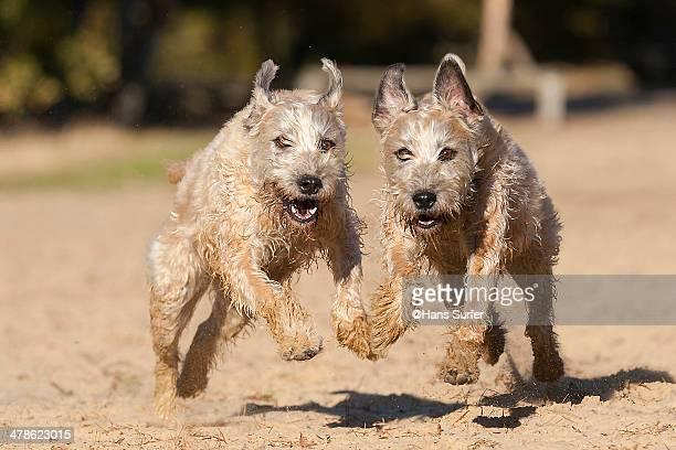 2 irish softcoated wheaten terriers close together - soft coated wheaten terrier stock photos and pictures