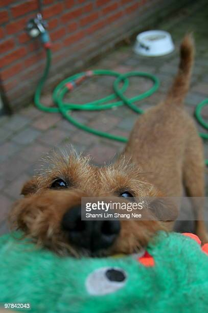 irish terrier dog playing with a dog toy - nee nee stock pictures, royalty-free photos & images