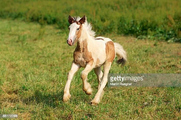 Irish Tinker Pony foal running