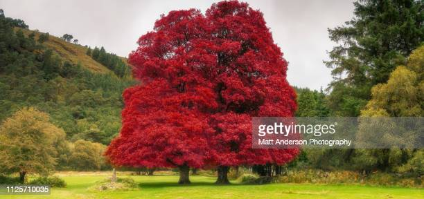 irish unity in red - banyan tree stock photos and pictures