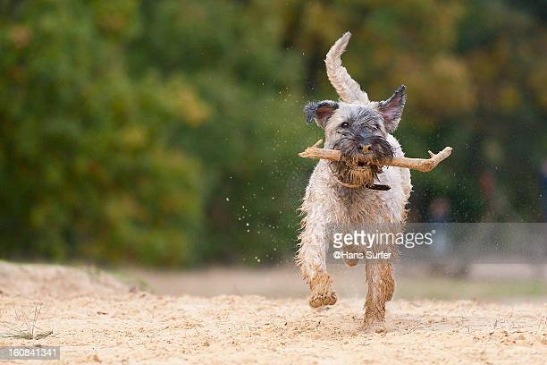 irish wheaten terrier - soft coated wheaten terrier stock photos and pictures