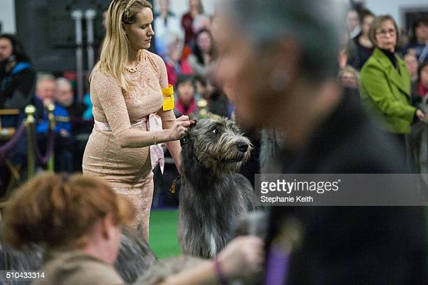 Irish Wolfhound competes during the annual Westminster Kennel Club dog show at Madison Square Garden on February 15 2016 in New York City The dog...