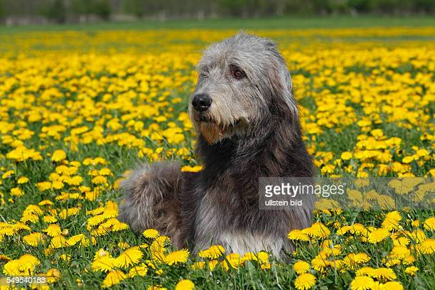 Irish Wolfhound dog male dog domestic dog