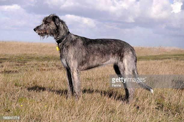 Irish wolfhound dog on grassy moor
