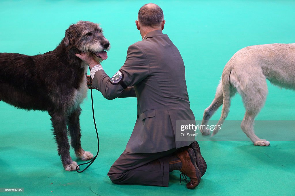 Irish wolfhound dogs are shown on the first day of Crufts dog show at the NEC on March 7, 2013 in Birmingham, England. The four-day show features over 25,000 dogs, with competitors travelling from 41 countries to take part. Crufts, which was first held in1891, sees thousands of dogs vie for the coveted title of 'Best in Show'.
