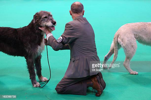 Irish wolfhound dogs are shown on the first day of Crufts dog show at the NEC on March 7 2013 in Birmingham England The fourday show features over...