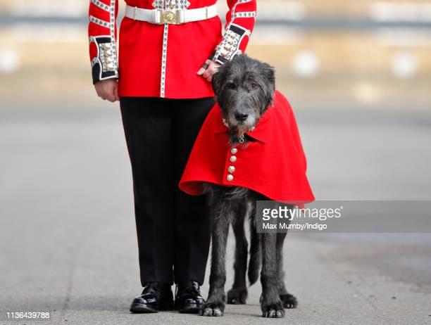 Irish Wolfhound 'Domhnall' regimental mascot of the Irish Guards and his handler Drummer David Murray attend the 1st Battalion Irish Guards St...