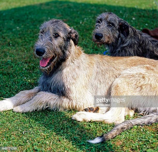 Irish Wolfhound, eine alte rauhaarige Windhundrasse aus England, die einst zur Wolfs- und Baerenjagd verwendet wurde, gehoert zu den groessten...
