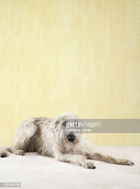 Irish Wolfhound (Canis lupus familiaris) laying