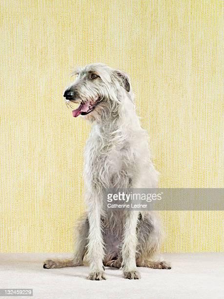 irish wolfhound (canis lupus familiaris) - irischer wolfshund stock-fotos und bilder