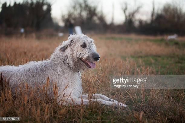 irish wolfhound - アイリッシュウルフハウンド ストックフォトと画像