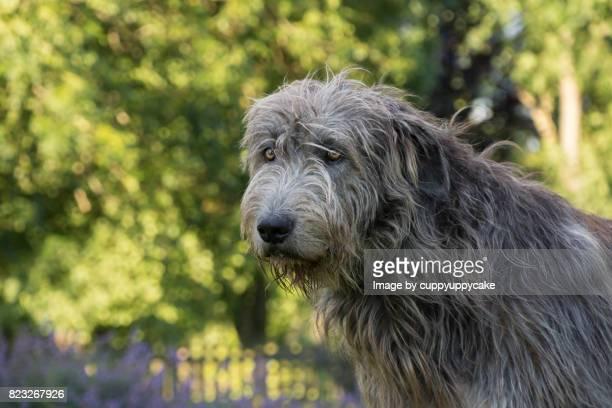 irish wolfhound - irischer wolfshund stock-fotos und bilder