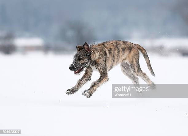 Irish Wolfhound puppy on snow-covered meadow