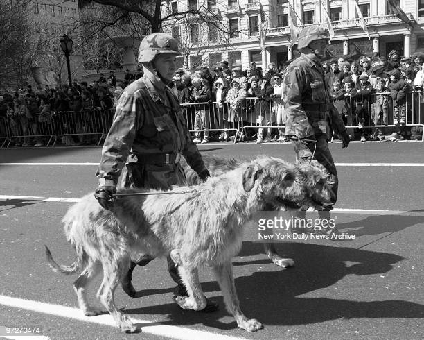Irish Wolfhound strolls the St Patrick's Day parade on Fifth Ave