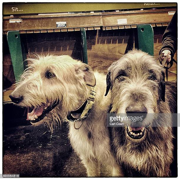 Irish Wolfhounds are pictured on the third day of Crufts dog show at the National Exhibition Centre on March 7 2015 in Birmingham England First held...