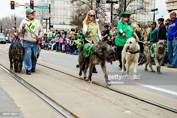 irish wolfhounds in st. patrick's day parade - irischer wolfshund stock-fotos und bilder