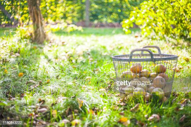 iron basket full of apples and pears in a garden - orchard stockfoto's en -beelden