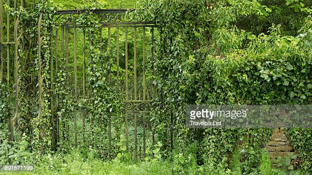 Iron gate overgrown with ivy