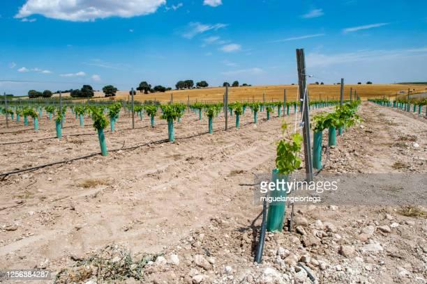 irrigated vineyard - miguelangelortega fotografías e imágenes de stock
