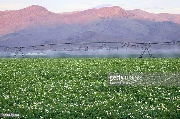 irrigating field of blooming potatoes - timothy hearsum stock pictures, royalty-free photos & images