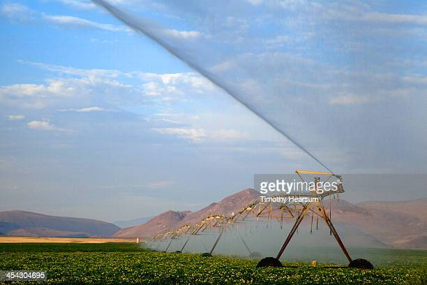 irrigating field of blooming potatoes - timothy hearsum stock photos and pictures