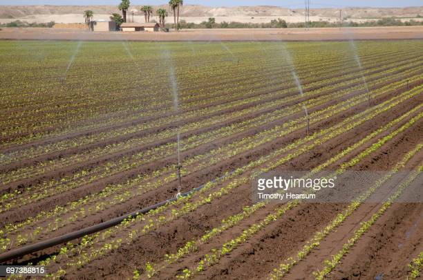 irrigating rows of young cilantro plants - timothy hearsum stock pictures, royalty-free photos & images