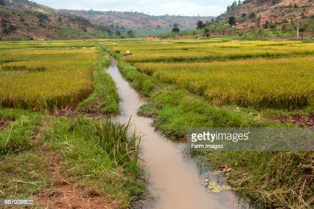 Irrigation ditch alongside rice field Rwanda