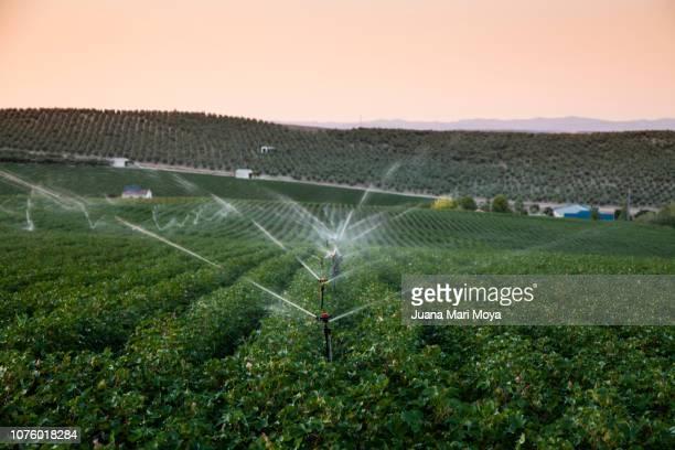 Irrigation in cotton field. In Spain.