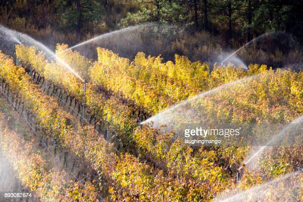 Irrigation Sprinkler Merlot Vineyard Okanagan Valley