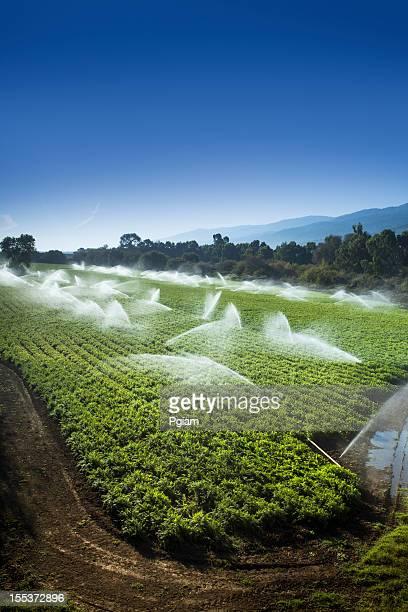 Irrigation sprinkler watering crops on fertile farm land