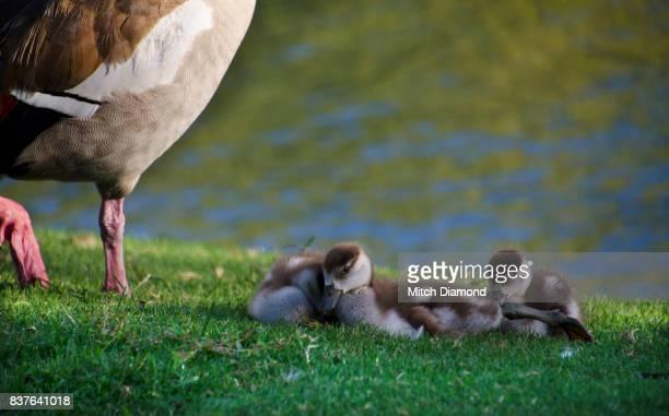 Irvine Lake Mother Goose