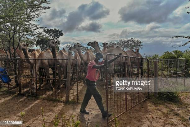 Isaac Mohamed a camel herder who hails from Kenya's northernmost county of Marsabit, releases camels from their enclosure at the International...