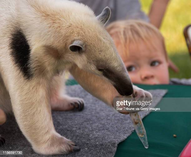 Isaiah Lindberg, from Eagan, watched an anteater from the Minnesota Zoo, use his tongue to extract bugs from a test tube. The animal exhibit was part...