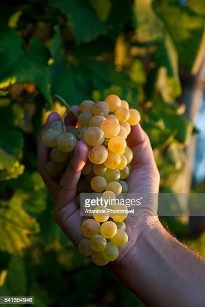 ischia island - grape harvest - image foto e immagini stock