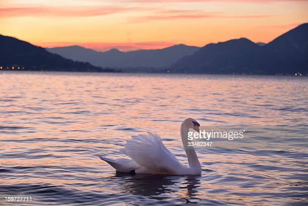 Iseo Lake winter sunset - Swan