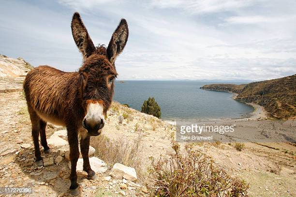 isla del sol donkey - jackass images stock pictures, royalty-free photos & images