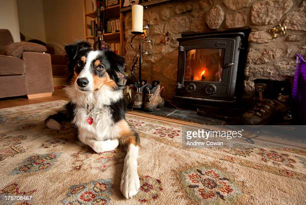 CONTENT] Isla in front of the fire Border Collie Log Fire Cottage