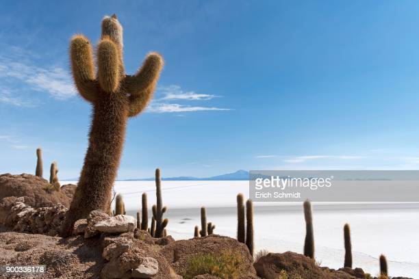 Isla Incahuasi with centuries-old cacti (Echinopsis atacamensis), in the salt lake Salar de Uyuni, Uyuni, Potosi, Bolivia