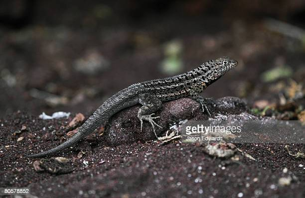 A Lava Lizard sun basking on a volcanic sand beach to thermoregulate.