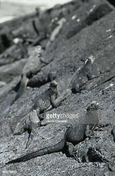 Marine Iguanas sun basking on coastal lava rocks for thermoregulation.