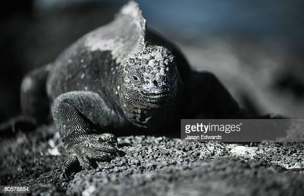 A Marine Iguana sun basks on coastal lava rocks for thermoregulation.