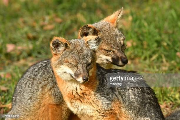 island fox - gray fox stock photos and pictures