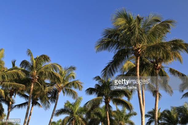 island palm trees, marco island, florida, usa (cocos_nucifera) - marco island stock pictures, royalty-free photos & images