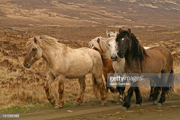 Isle of run ponies