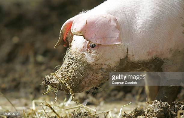 ismaning, ger, 10. aug. 2004 - little pig - pigs trough stock pictures, royalty-free photos & images