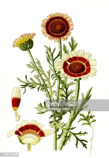 Ismelia carinata the tricolour chrysanthemum tricolor daisy annual chrysanthemum Chrysantheme digital improved reproduction from a print of the 19th...