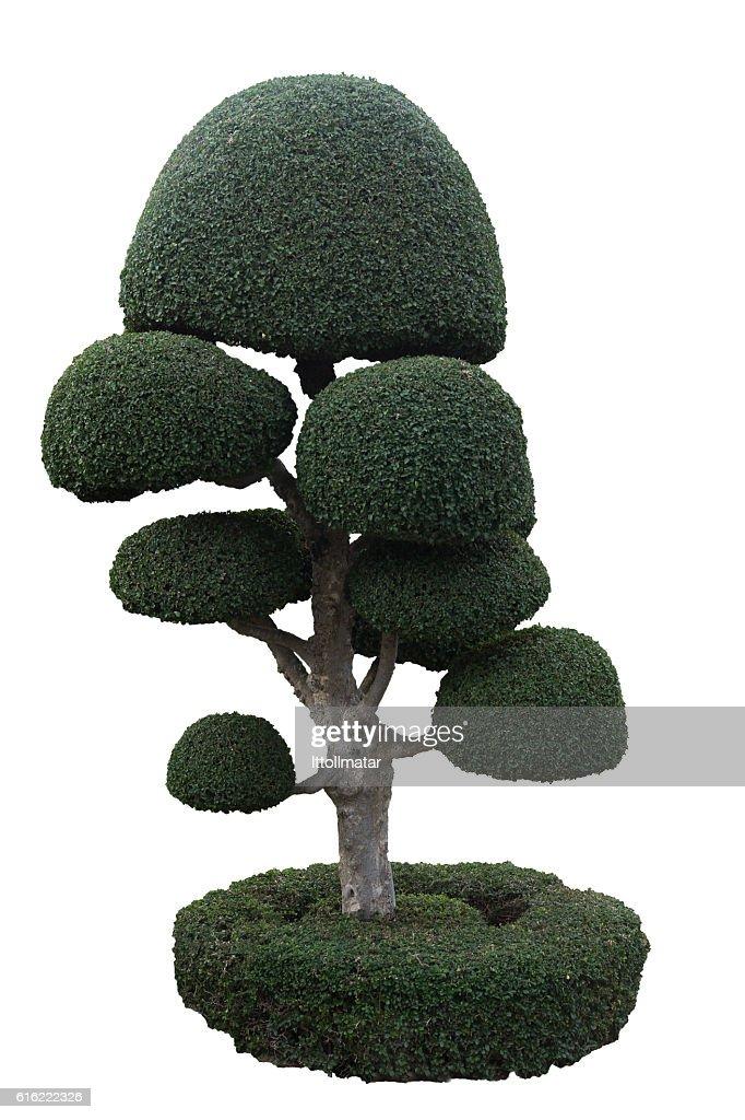 isolate dwarf tree on white background : Stockfoto