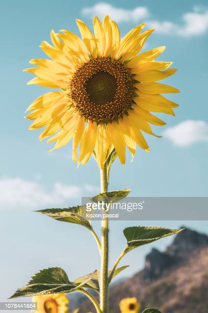 isolate sunflower in the field against blue sky during day - girasoli foto e immagini stock