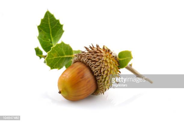 Isolated acorn with leaves